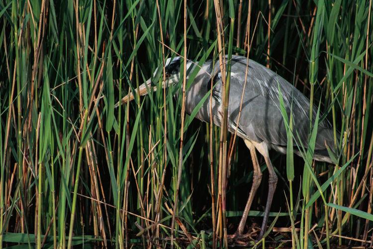 High angle view of gray heron in lake