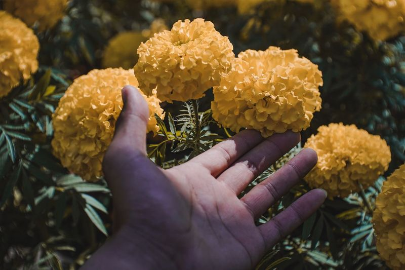 Close-up of hand touching marigold growing on plant
