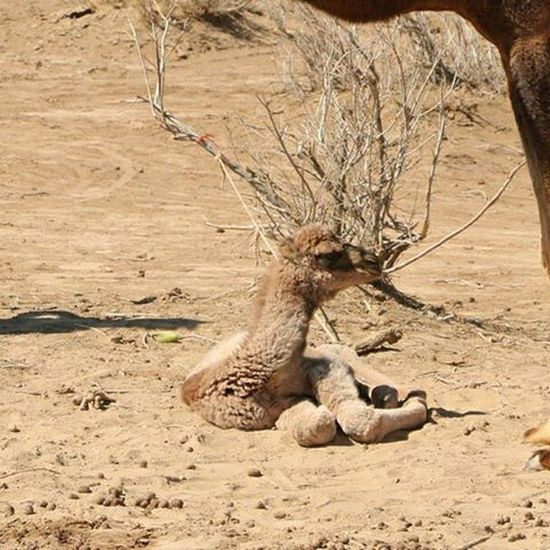A baby camel... Camel Nature Beautiful Naturelovers Naturallandscape Naturelovers Iran Mustseeiran Desert Desertlife Legs Foot People Instalike