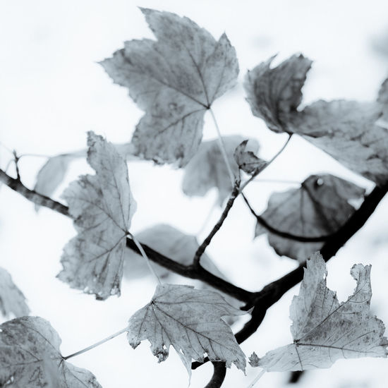 Leaves on branch - snow background Close-up Plant Part Leaf Plant No People Beauty In Nature Nature Growth Vulnerability  Focus On Foreground Day Leaf Vein Fragility Leaves Outdoors Sky Autumn Tree Snow Change Natural Condition France