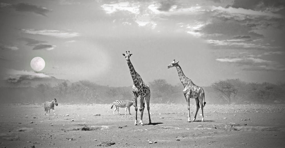 The Great Outdoors - 2016 EyeEm Awards Outdoors Nature Monochrome Game Drive Beauty In Nature Wildlife Photography African Safari Namibia Animal Themes Girrafes Etosha National Park African Safari Wildlife Park