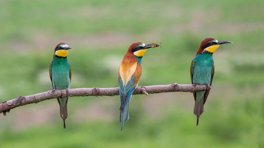 Beautiful Bee Eater Bee Eaters Bird Bird Photography Bird Watching Birds Birdwatching Colored Colored Bird Colorful Colors Coutryside Europe In A Row Italy Merops Apiaster Nature Ornithology  Three Wildlife Wildlife Photography Wonderful