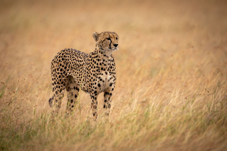 Africa Masai Mara Kicheche Savannah Savanna Wildlife Animal Predator Big Cat Cat Nature Travel Animal Wildlife Animals In The Wild Animal Themes Feline Cheetah Mammal One Animal Safari Grass No People Animals Hunting Spotted Hunting Survival Undomesticated Cat Vertebrate