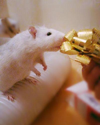 Rattie Ratte Rat Unser Robin First Eyeem Photo