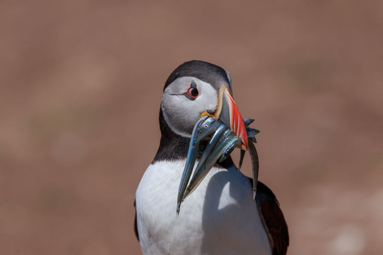 Close-up of bird carrying fishes in mouth