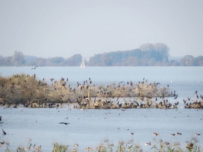 Lake Bird Animals In The Wild Nature Animal Wildlife Water Colony Outdoors Landscape No People Large Group Of Animals Animal Themes Tree Beauty In Nature Sky Flock Of Birds Animals Comorant Geese Perspectives On Nature The Week On EyeEm