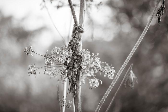 Vertrocknetes Herkuleskraut Riesenbärenklau 🌟 Beauty In Nature Close-up Day Dried Plant Flower Focus On Foreground Herkuleskraut Nature No People Outdoors Plant Schwarzweiß Twig