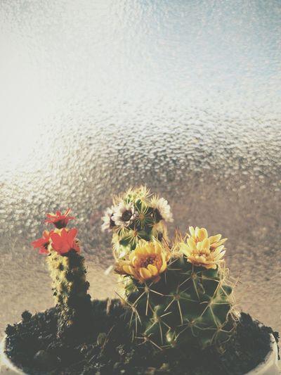 Lovely little flowers Flower Vscobrasil Vscocam Cactus Flowers Flower Porn Flowers,Plants & Garden Flower Collection Cactus Flower Cactusporn