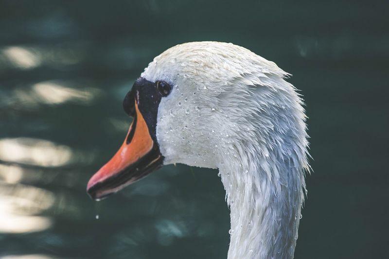 Back Water Drops White Bird Animal Themes Vertebrate Animal Animal Wildlife Animals In The Wild One Animal Swan Nature