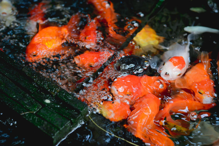 Animal Themes Animals In The Wild Close-up Day Food Freshness Koi Carp Large Group Of Animals Nature No People Outdoors Sea Life Swimming Water