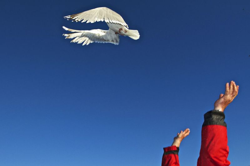 Low angle view of bird against clear blue sky