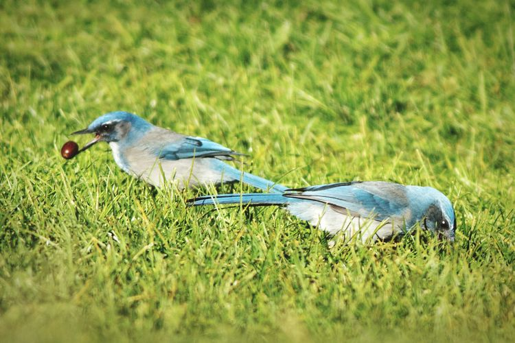 A pair of scrub jays forage for acorns at the park Two Animals Two Is Better Than One Birdwatching Blue Bird Scrub Jay Western Scrub Jay Acorn Utah Maxwell Canyon Bird Grass Animals In The Wild Animal Wildlife Nature Day Outdoors Animal Themes Eating No People Food