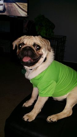 King Pug Ready To Go Green Polo Puglife Pug Love Puglover Wheremybitches????