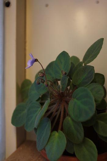 """African Violet """"Lilla Blåklockan"""". African Violet Blooming Blooming Flower Blue Plant Budding Flower Budds Close-up Flower Flowering Plant Flowers Houseplant Leaf Plant Potted Plant"""