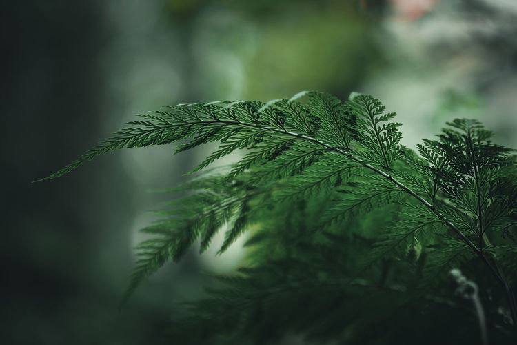 Fern leaves detail with blur background Fern Leaves Green Color Leafs Leaves🌿 Nature Beauty In Nature Bokeh Close-up Fern Foliage Forest Forest Photography Freshness Green Color Growth Leaf Leaf Shape Leaf Vein Leaves Macro Nature Nature Background Plant Plant Part
