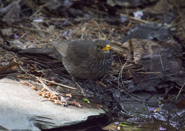 Real Jardín Botánico de Madrid Animal Themes Bird Blackbird Mirlo Nature No People One Animal