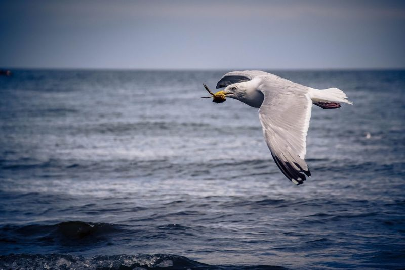 Close-Up Of Seagull With Prey Flying Over Sea