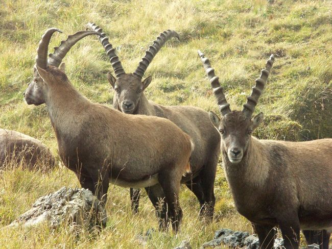 Capricorns on Säntis Capricorns Animal Themes Animal Wildlife Animals In The Wild Day Field Grass Looking At Camera Mammal Nature No People Outdoors Portrait Stag Standing Togetherness