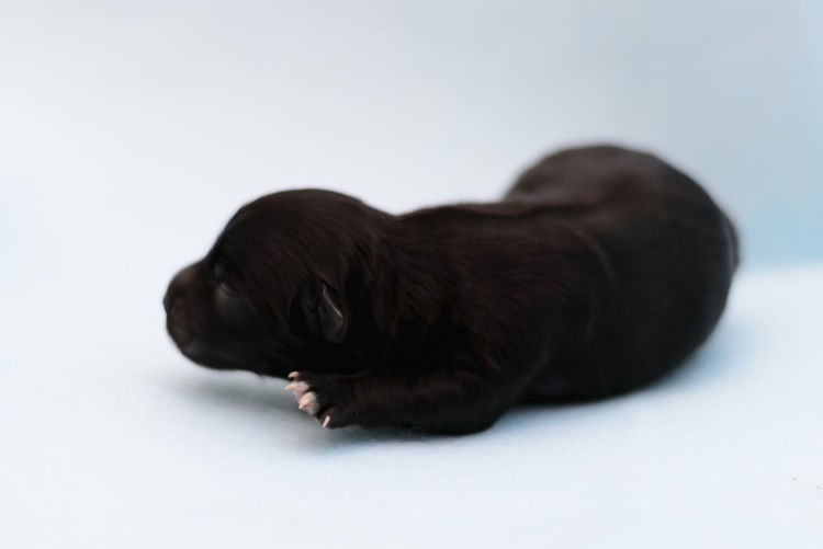 Baby Cucciolo Happy Puppy Love Tiny Black Cane Canine Cute Dog Doggie Domestic Domestic Animals Indoors  Mammal Newborn One Animal Pets Piccolo Pup Puppy Relaxation Small White Background Young Animal