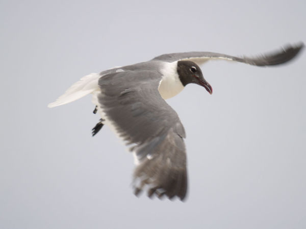 Animal Avian Beauty In Nature Bird Close-up Day Nature No People Outdoors Seagull Seagull And Sky Seagull At The Sea Seagull Flying Free SEAGULL IN FLIGHT Seagull Serenity Seagull ın Flıght Seagull. Seagulls Seagulls And Sea Seagulls Flying Over Me Seagulls In Flight