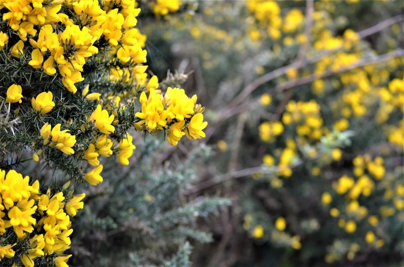 Yellow Flower Flowering Plant Plant Freshness Fragility Vulnerability  Beauty In Nature Growth Focus On Foreground Close-up Flower Head Nature Inflorescence Day Petal No People Outdoors Land Selective Focus Spring Nature By Tania Andreea