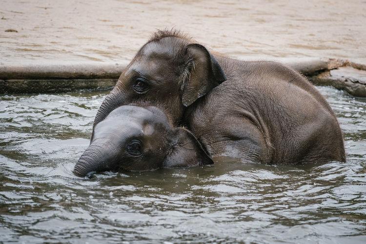 Elephant calves swimming in pond