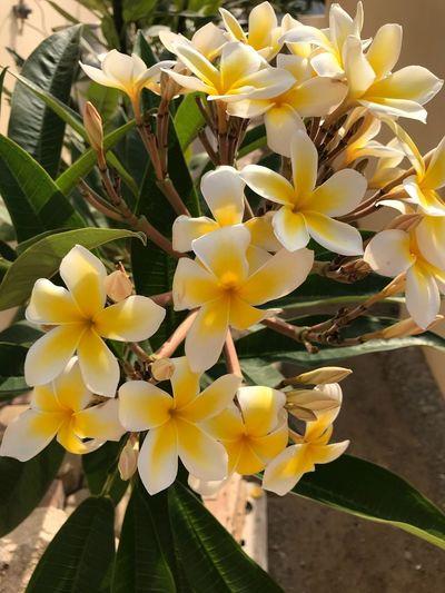 Tropical Flowers Botanical Flora Aruba Garden Oleander Tropicalflower Flower Petal Growth Beauty In Nature Fragility Freshness Plant
