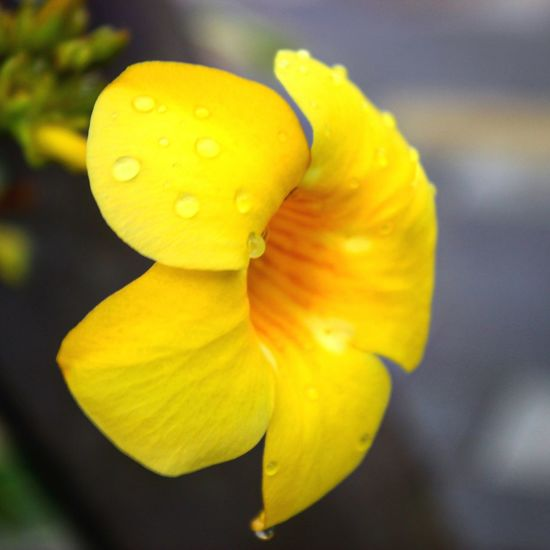 Cinta Costera Panama City Panamá Visit Panama Pty Pty507 Flower Amarillo Flor Amarilla Yellow Flower Macro Photography Macro Macro Beauty