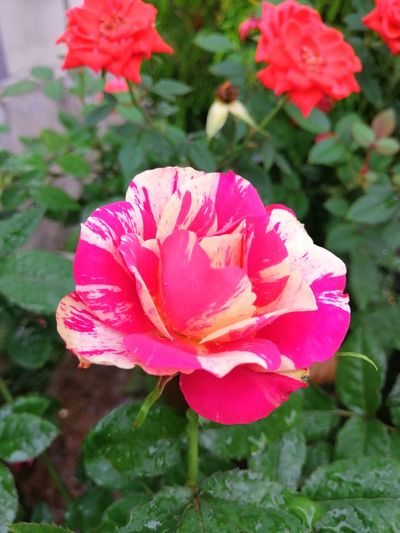 Hybrid roses
