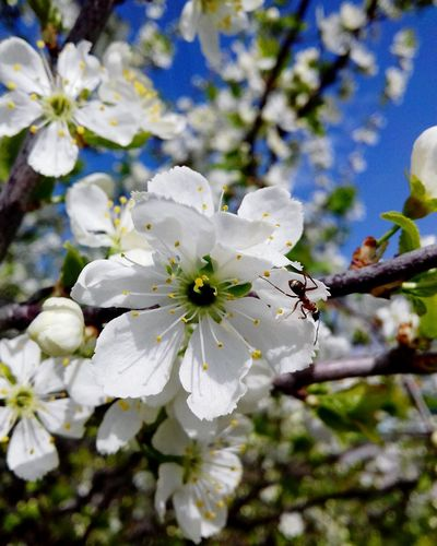 White apple blossoms in spring