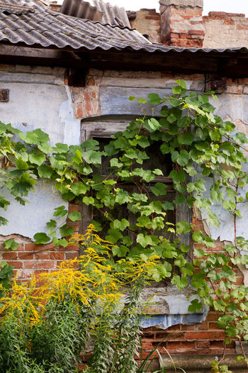 Abandoned old house window in Poland, Odrzywół town, creeper plants grow on wall and goldenrods in home exterior, damaged roof and broken wall of red bricks architecture detail, outside view in vertical orientation, nobody. Abandoned Blooming Broken Building Building Exterior Cracked Creep Damaged Derelict Dilapidated Encroachment Flowering Flowers Goldenrod Growing Home House House Ivy Nature No People Overgrown Plant Plants Window