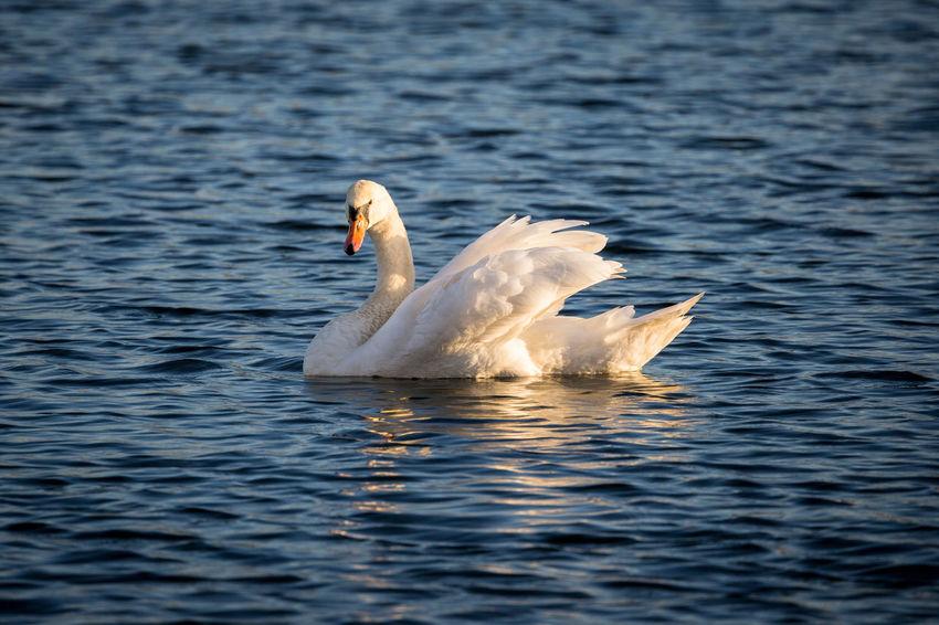 Animal Themes Animals In The Wild Balance Beak Bird Blue Evening Evening Light Lake No People One Animal Swan Swimming Water White White Color Wildlife Zoology