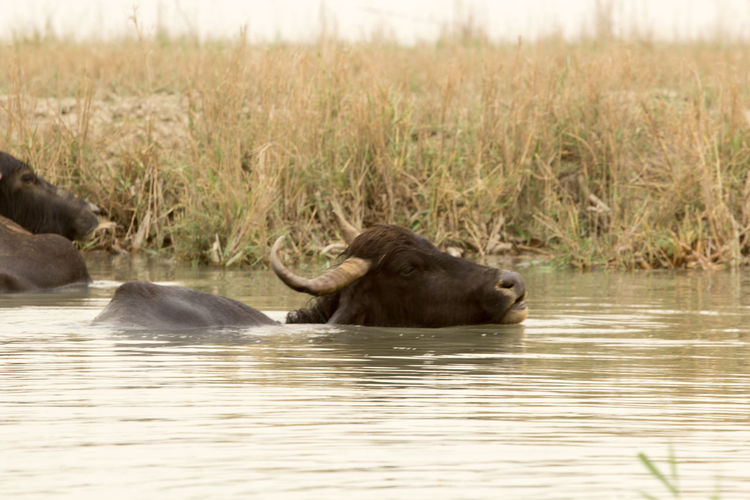 Water Buffaloes In River By Plants