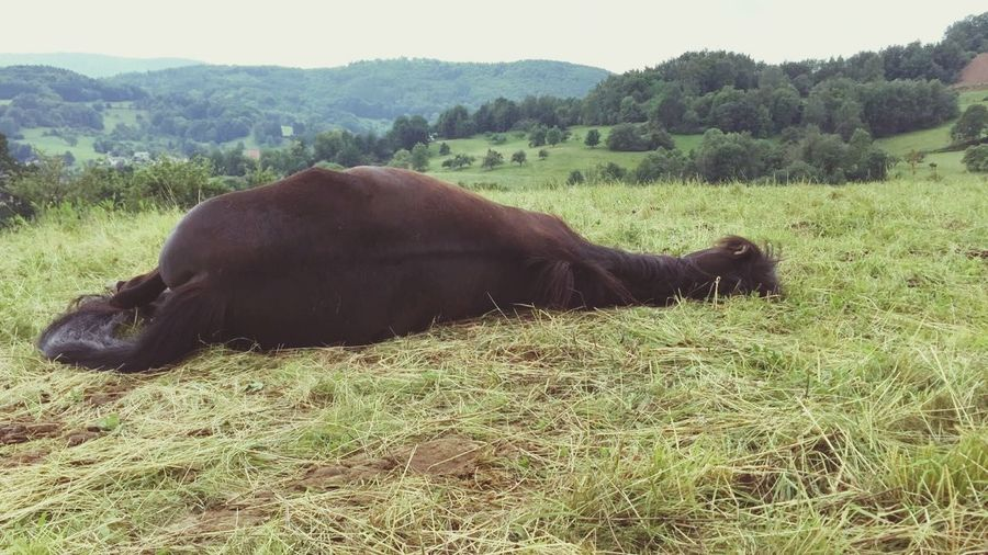Sweet Dreams Morgan Horse Odenwald...... Sleeping Time Horse Life Horses Schlafen Traum Sleeping Horse Sleeping Tree Agriculture Grass Livestock