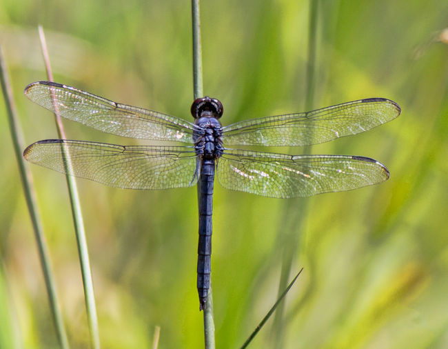 Dragon fly with wings spread on green background Animal Wing Blade Of Grass Close-up Damselfly Day Dragonfly Focus On Foreground Green Color Insect Nature No People Outdoors Plant Plant Stem