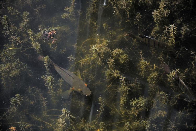 Cichlid swimming in fresh water lake in South Florida Underwater Florida Nature Florida Wildlife Fish Fresh Water Fish Cichlid Cichlids Nature Growth Outdoors No People Plant Tranquility Beauty In Nature Close-up High Angle View Day Animal Themes Water