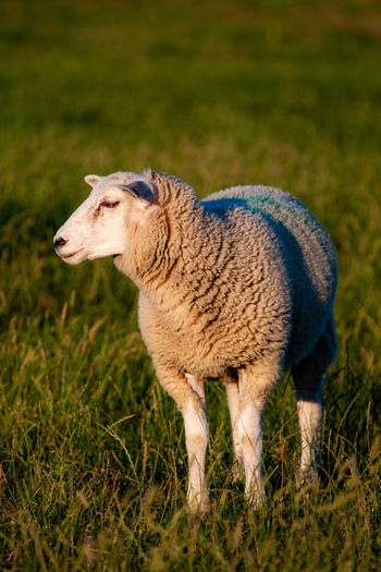 Animal Animal Themes Grass Mammal One Animal Plant Domestic Animals Livestock Field Domestic Sheep Side View Vertebrate Pets Standing Land Nature Plain No People Wool Outdoors Profile View Herbivorous Deich  EyeEmNewHere