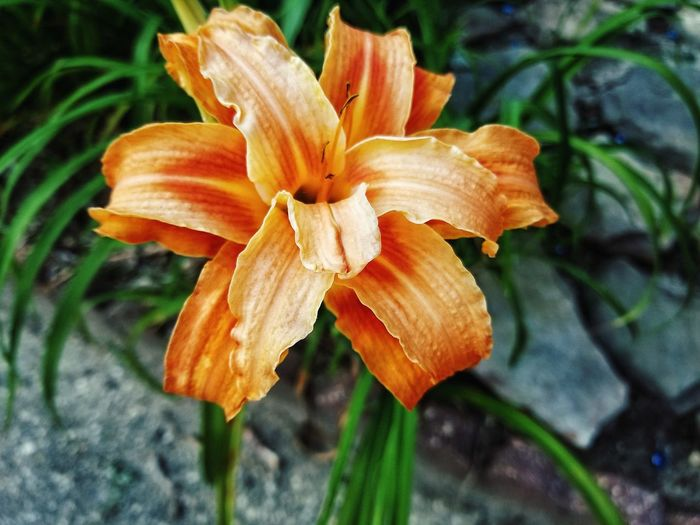 Flower Fragility Nature Close-up Petal Plant Growth Beauty In Nature Day Outdoors Freshness Flower Head Focus On Foreground No People Day Lily Rare Triple Bloom
