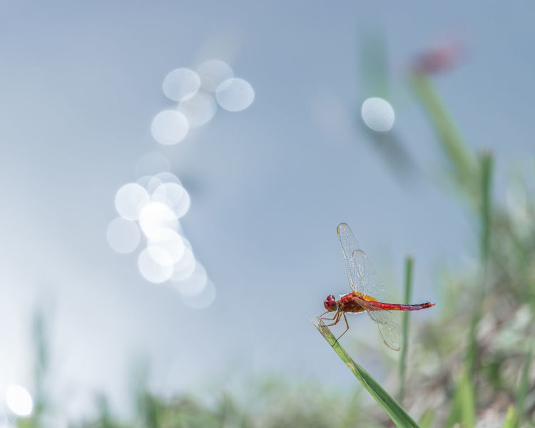 In dream there was a red dragonfly crouching on grass before flaring pond. Animal Background Childhood Crouching Dragonfly Dream Dreamy Flares Grass Hunting Insect Lake Nature Pond Red Reflection River Surface Water