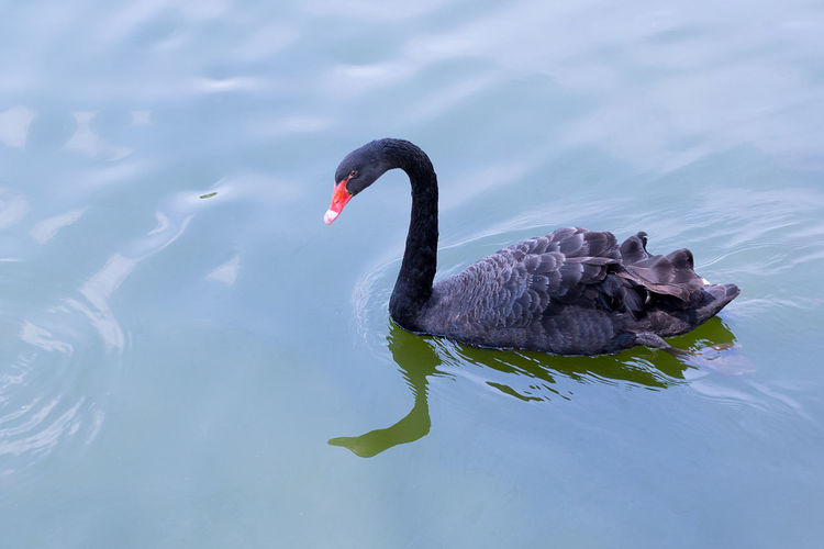 BLACK SWAN ON LAKE WITH WATER REFLECTION