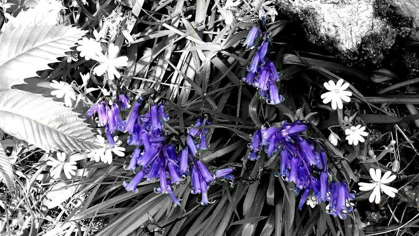 Nature Bluebells Colorsplash Violet By Motorola Spring Flowers