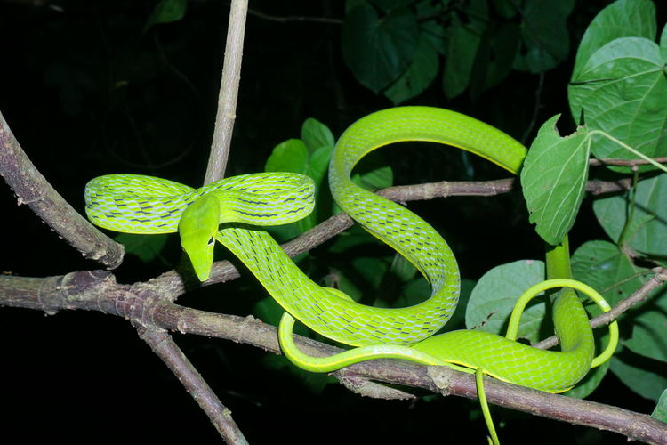 Green snake11 Leaf Reptile Vine - Plant Close-up Animal Themes Plant Green Color