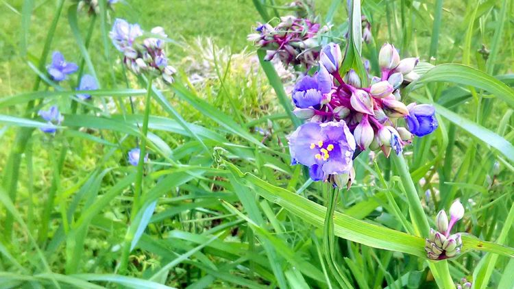Nature Flowers, Nature And Beauty Spiderwort Relaxing