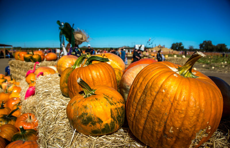 pumpkins on display from the pumpkin patch Farm Fine Art Photography Gourd Orange Thanksgiving Agriculture Autumn Celebration Crowd Day Focus On Foreground Food Food And Drink Freshness Fun Event Halloween Healthy Eating Nature Outdoors Produce Pumpkin Pumpkin Display Pumpkin Patch Squash Vegetable