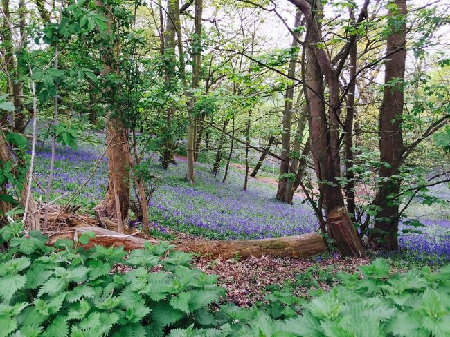 Bluebell Wood Woods Family Walks Nature Beautiful