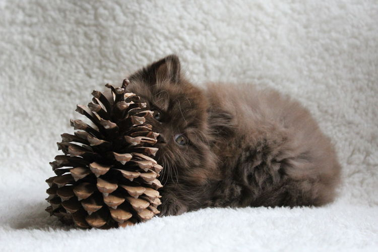 Close-up of british longhair kitten with pine cone on bed