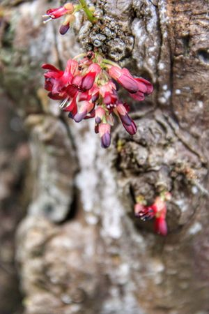 Flower Tree Fragility Growth Nature Petal Beauty In Nature Blossom Tree Trunk Day Pink Color Outdoors Close-up Freshness Selective Focus No People Springtime Branch Flower Head Blooming Averrhoa Bilimbi Belimbing Buluh EyeEmNewHere The Week On EyeEm
