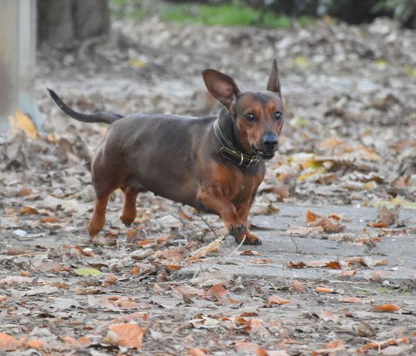 Animal Themes Dog Dog Walking Domestic Animals Dushund One Animal Outdoors Pets