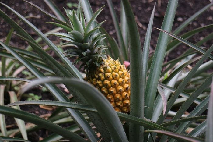 Oh look, a spikey-fruit! Fruit Food And Drink Pineapple Green Color Food Healthy Eating Freshness Growth Field No People Agriculture Outdoors Nature Day Moody Mood Beauty In Nature Close-up