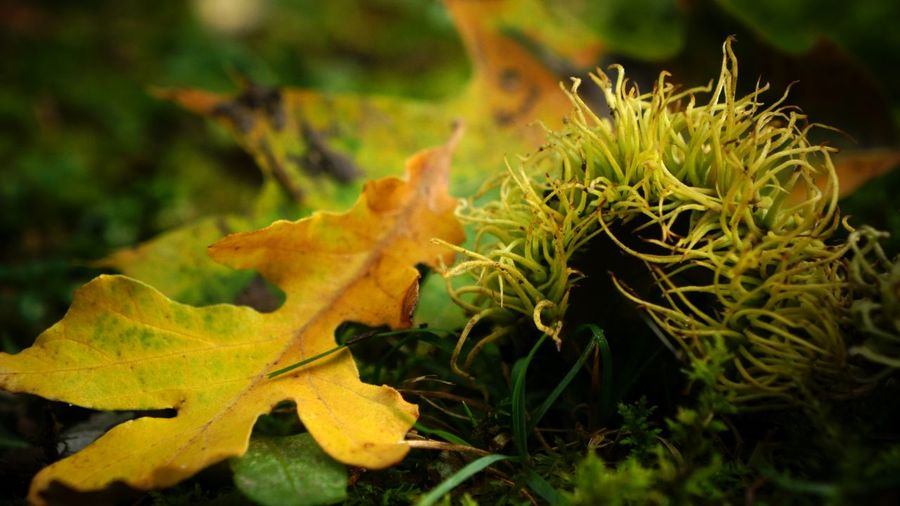 Autumn in Michigan Acorn Autumn Beauty In Nature Botany Bur Oak Acorn Change Clo Se-up Dry Focus On Foreground Fragility Green Green Color Growth Leaf Leaf Vein Leaves Natural Condition Nature Outdoors Plant Plant Life Scenics Season  Tranquility Yellow
